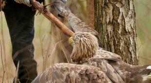 Poturbowany bielik znaleziony w mazurskich lasach (fot. Karol Zalewski)