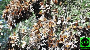 Niezwykła migracja monarchów w obiektywie Reporterki 24