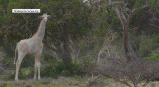 Białe żyrafy w Kenii (hirolaconservation.org)
